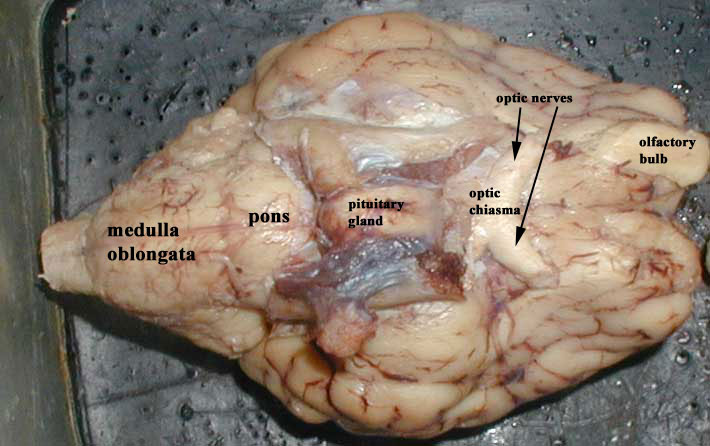Ventral View Of Sheep Brain