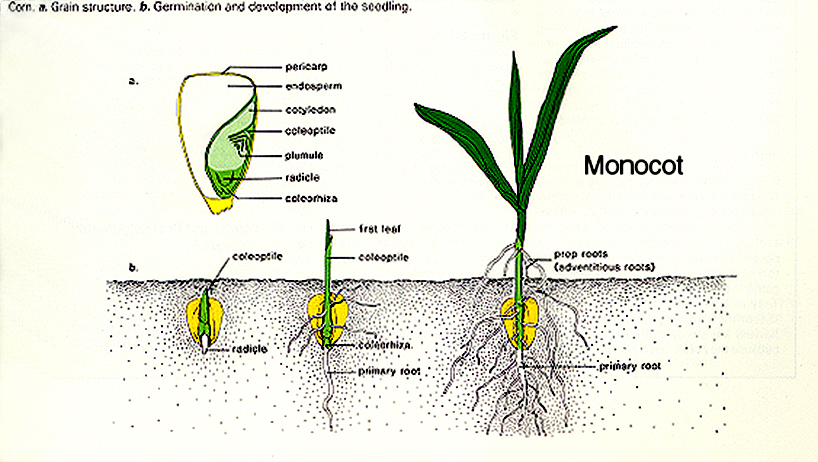 how to draw out a grass seed